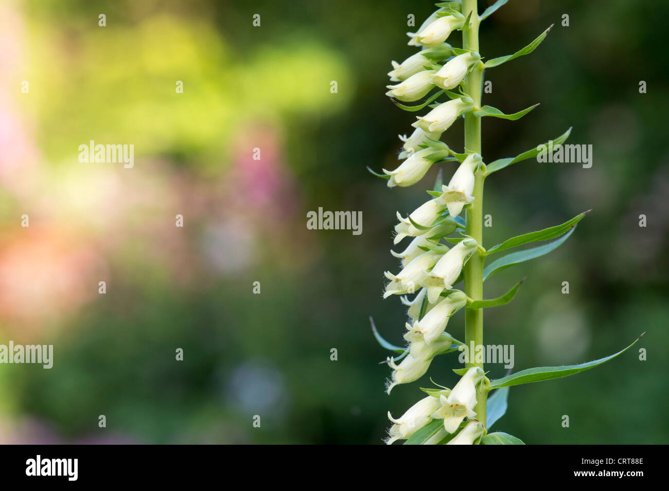 Digitalis lutea. Small Yellow Foxglove. Straw Foxglove - Stock Image