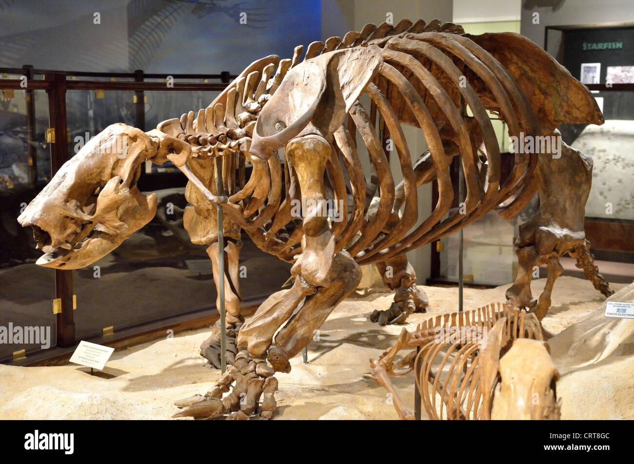 Fossil giant ground sloth (Paramylodon harlani). Pleistocene age. - Stock Image
