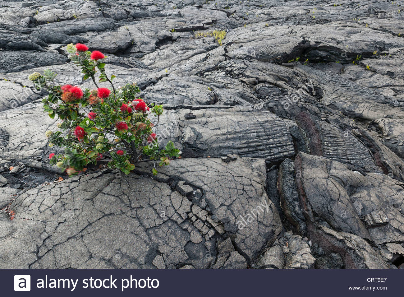 An ohia lehua tree (Metrosideros polymorpha) provides rare color on a lava field in Volcanoes National Park, Hawaii. Stock Photo