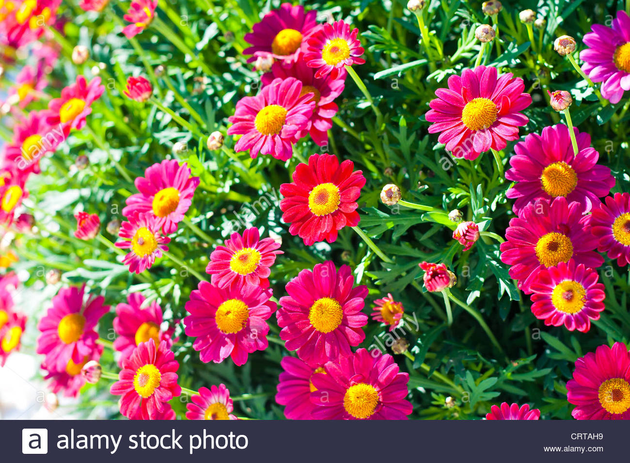 Redish purple daisy, Asteraceae, in a garden. Aster. - Stock Image