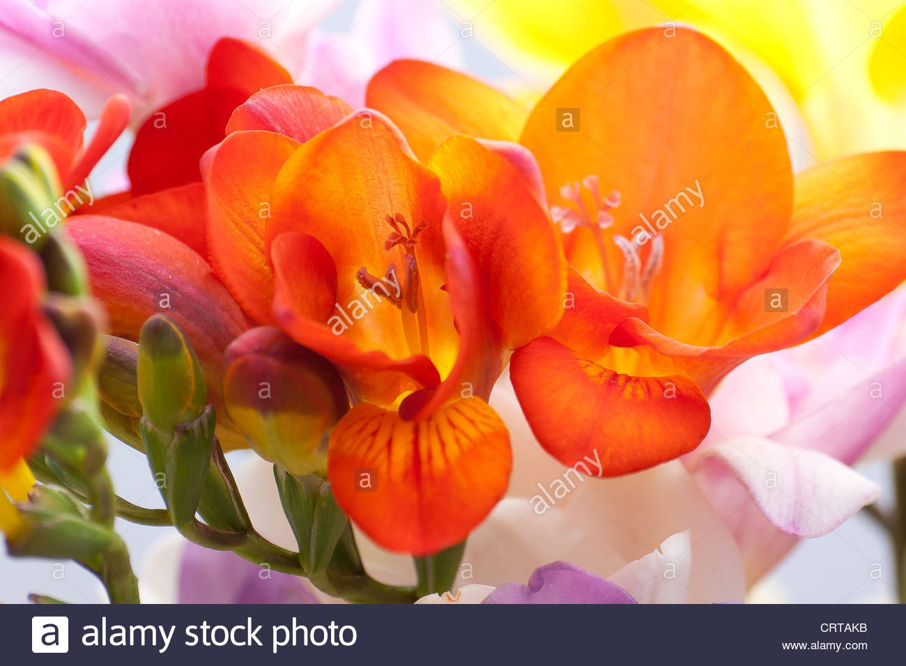 Freesia, Iridaceae. - Stock Image