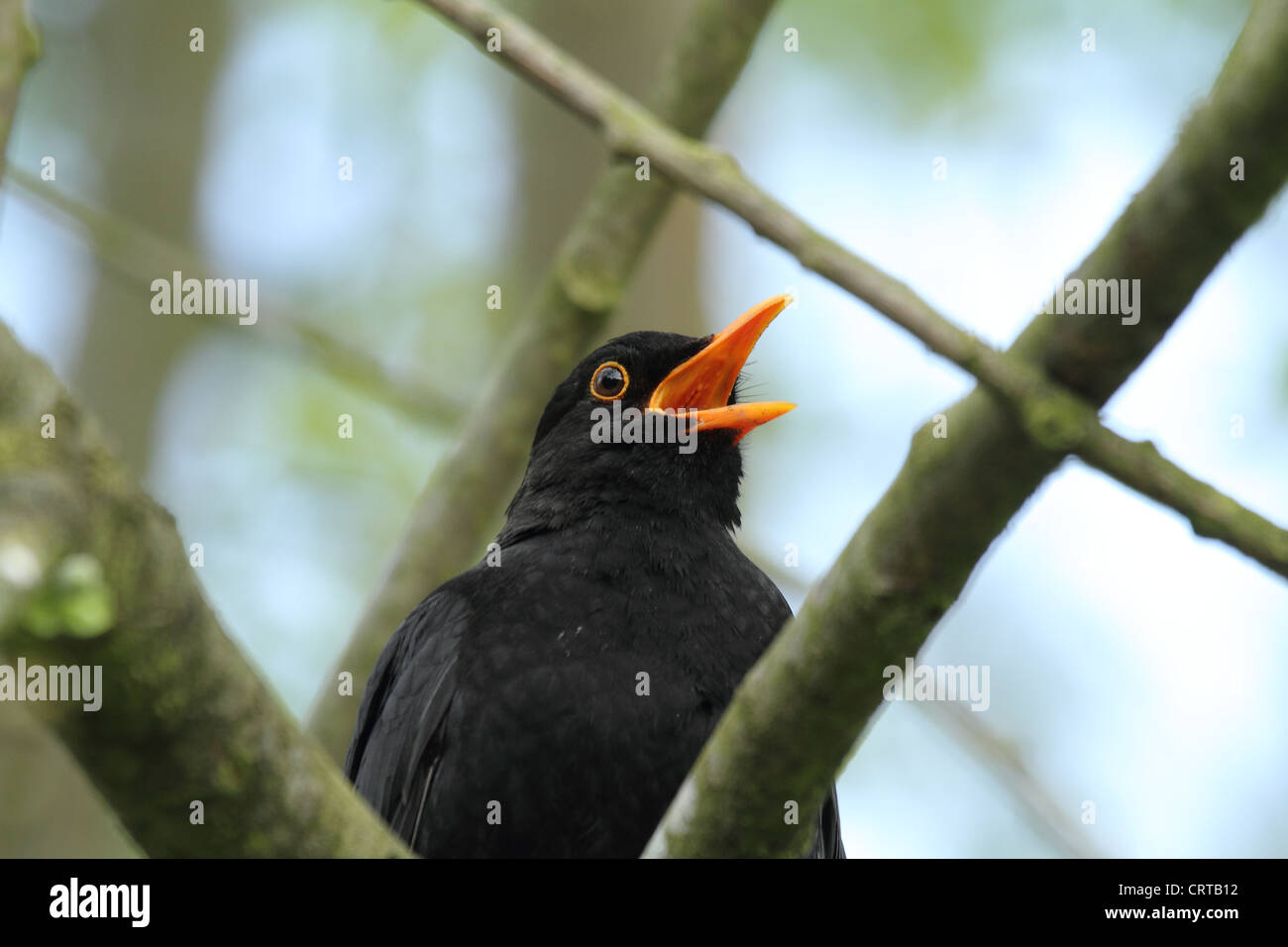 blackbird male singing with beak wide open - Stock Image