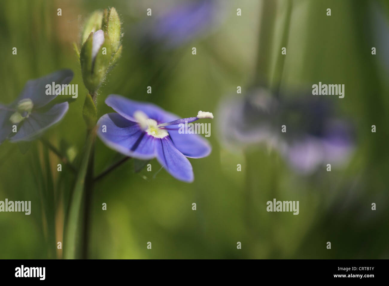 blue flowers forget me nots blurred background - Stock Image