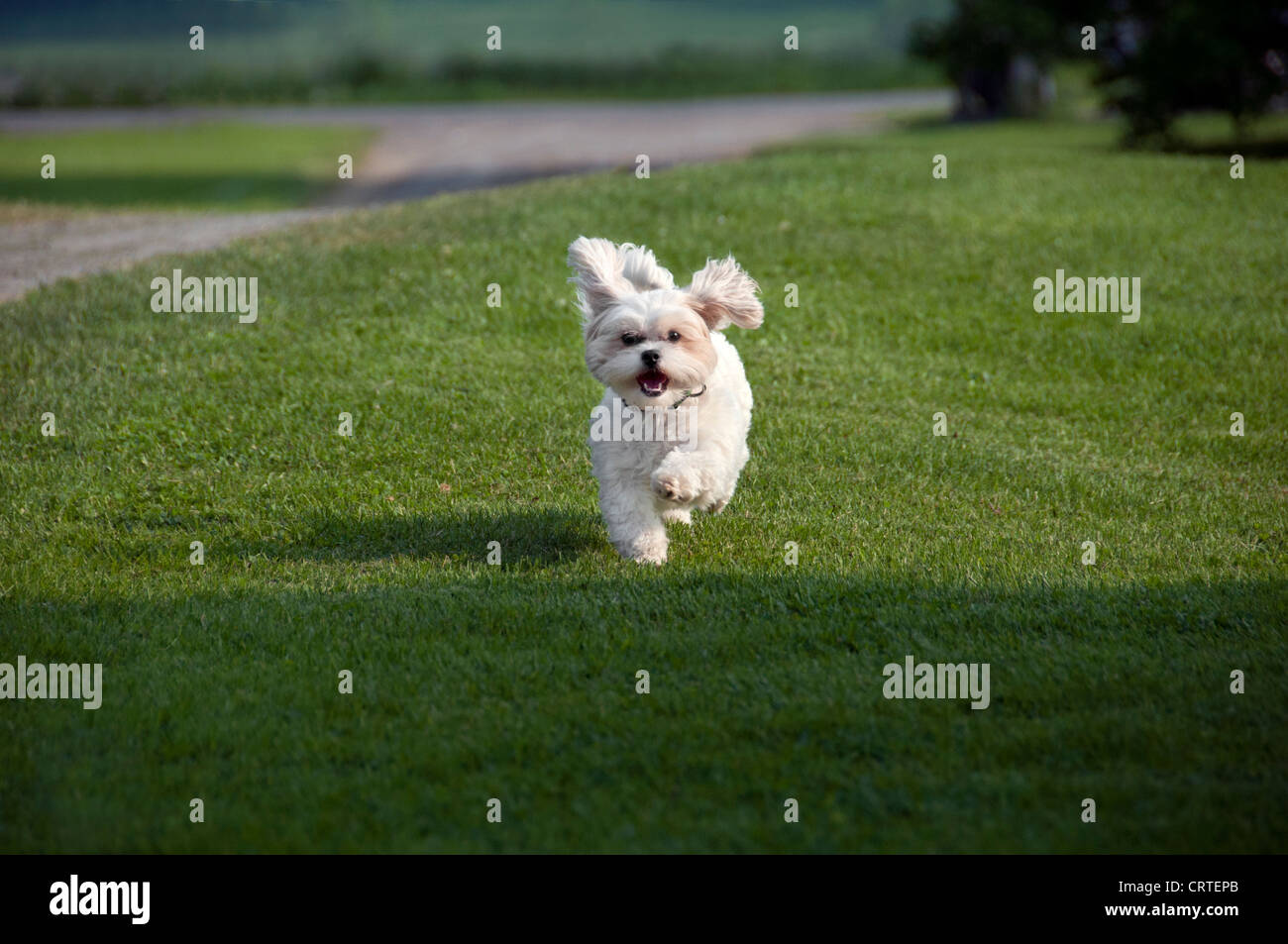 a happy puppy dog running - Stock Image