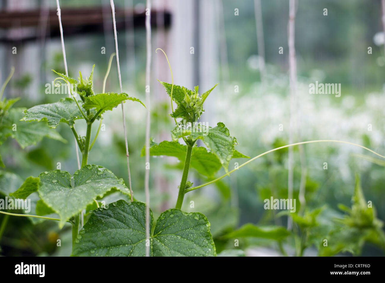 Green and wet plants is growing in greenhouse Stock Photo