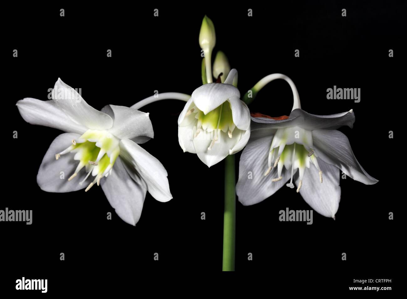 Eucharis Grandiflora Amazon Lily White Stock Photos Eucharis