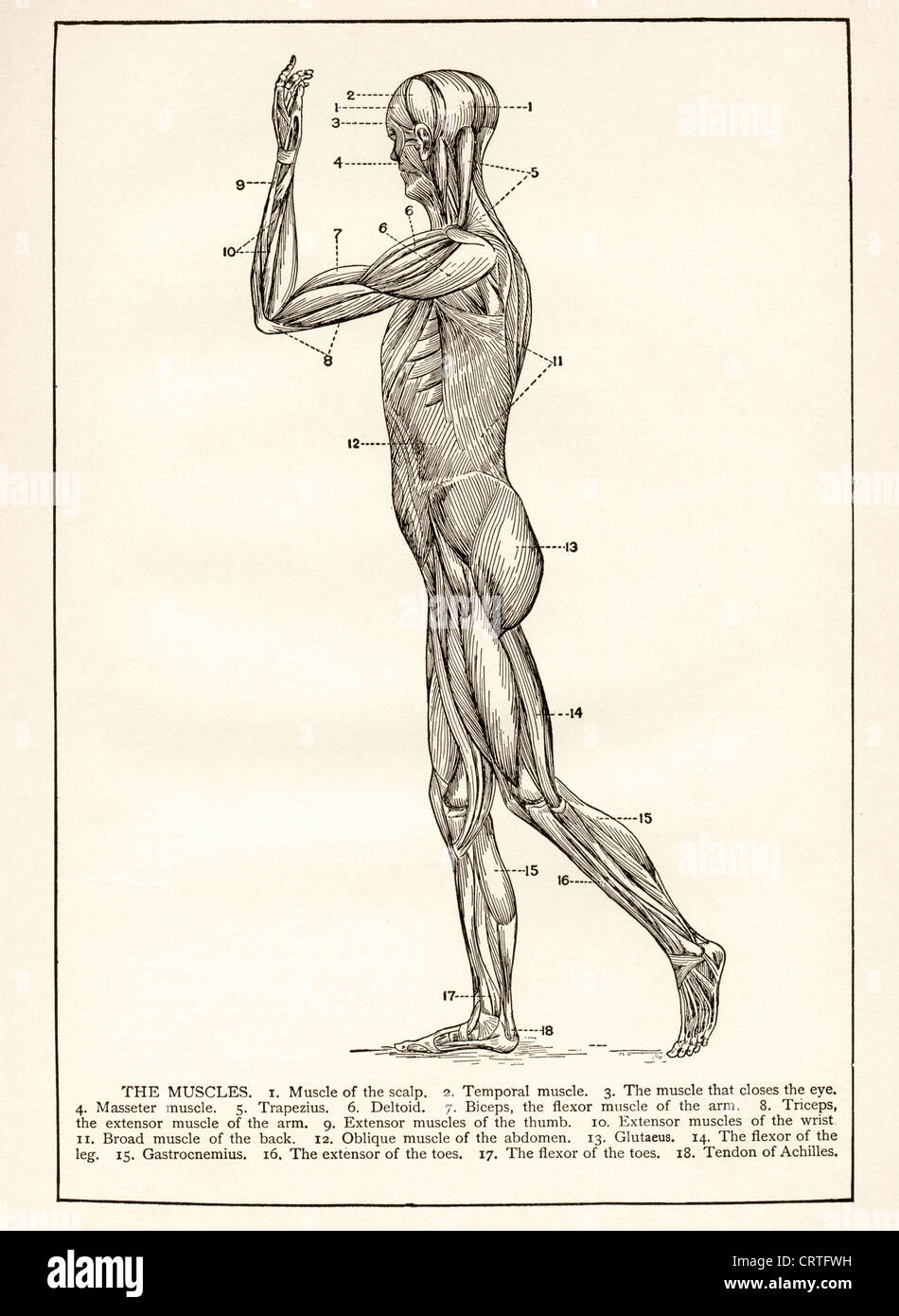 Biceps Tendon Stock Photos & Biceps Tendon Stock Images - Alamy