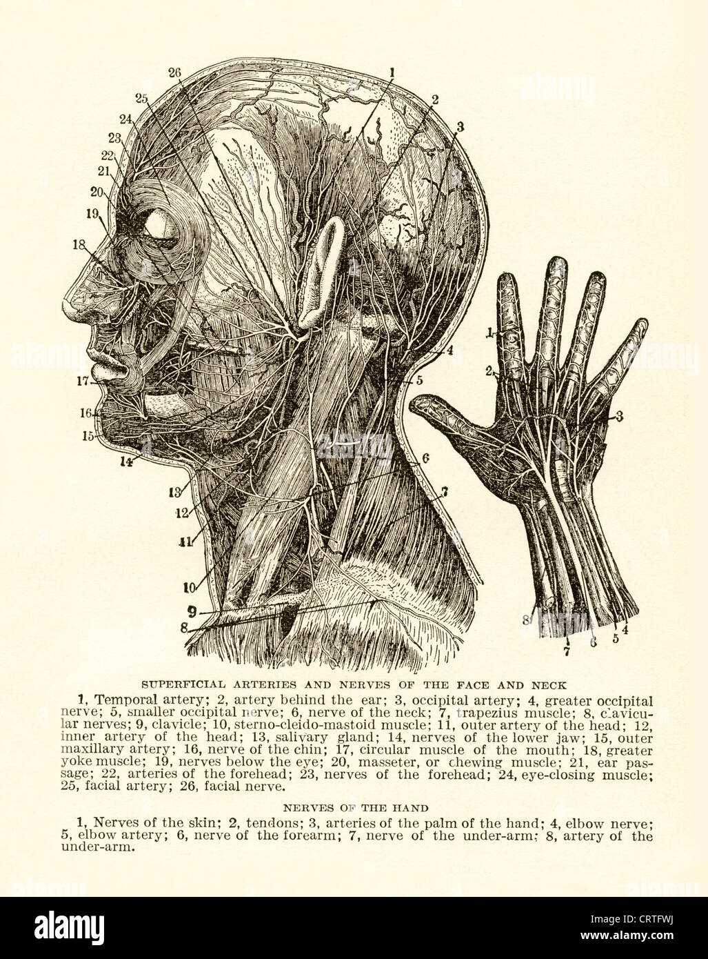 Vintage engraving of arteries and nerves of human head and hand. - Stock Image