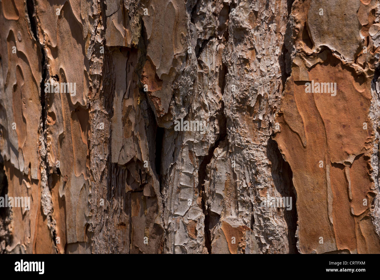 Pine trunk texture. Shallow focus. This tree is about 120 years old. Specimen: pinus pinea. - Stock Image