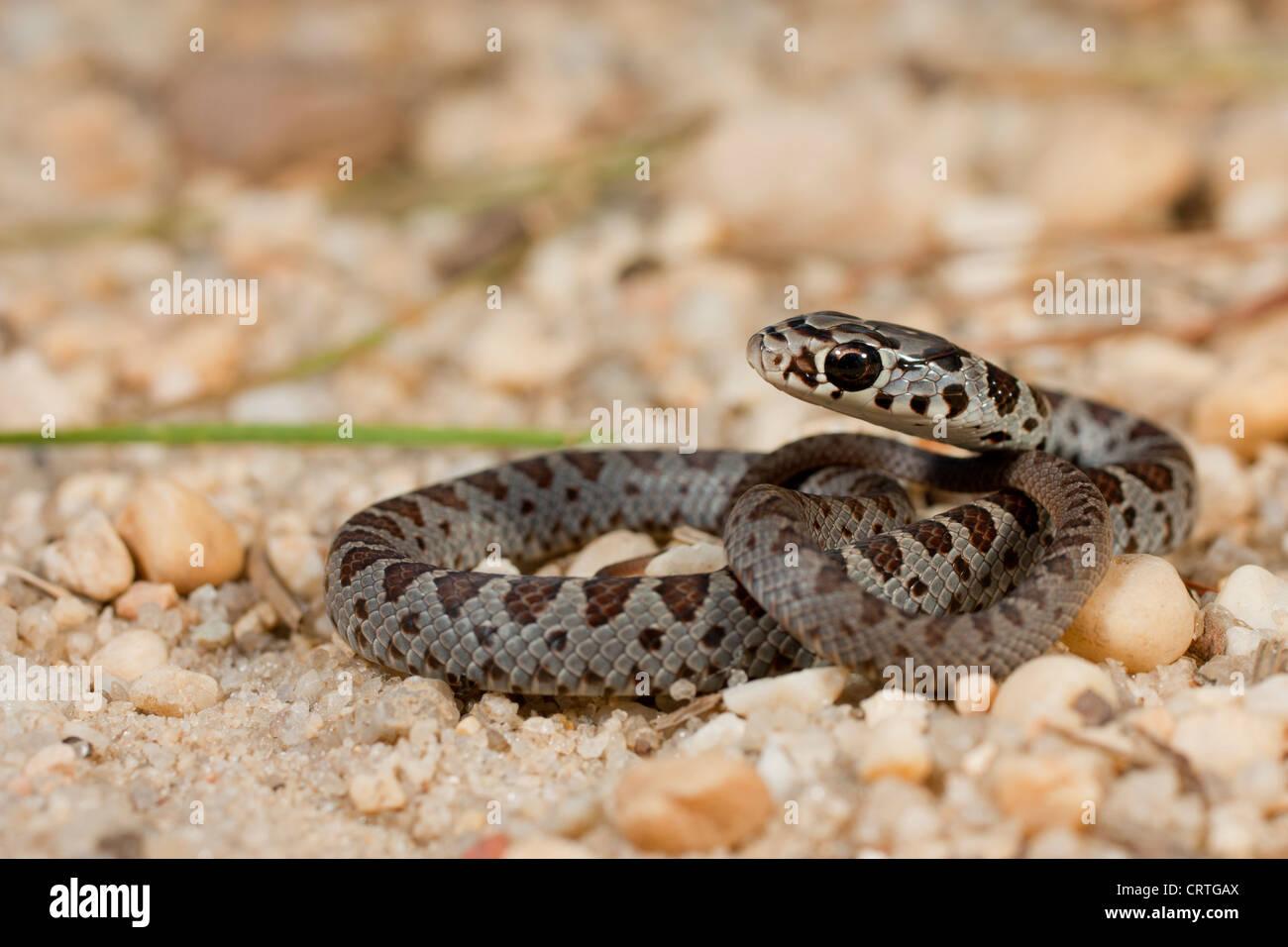 Baby black racer snakes
