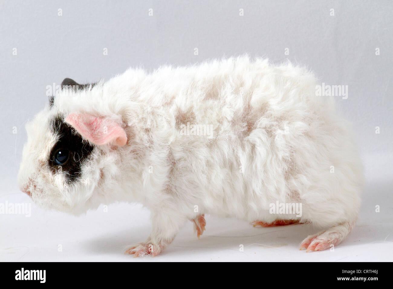 Merino baby guin - Stock Image