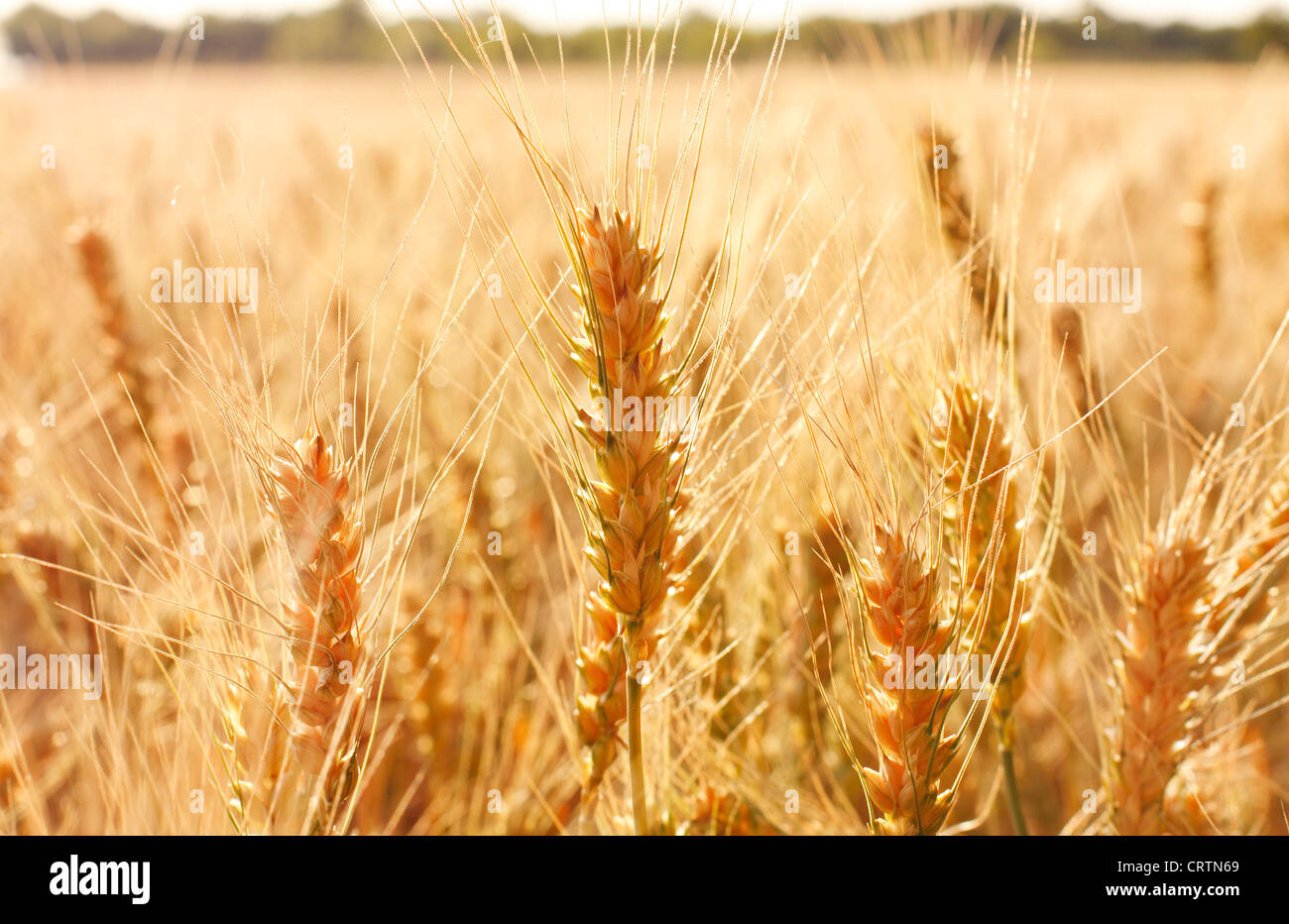 It's time to harvest grain. Wheat field - Stock Image