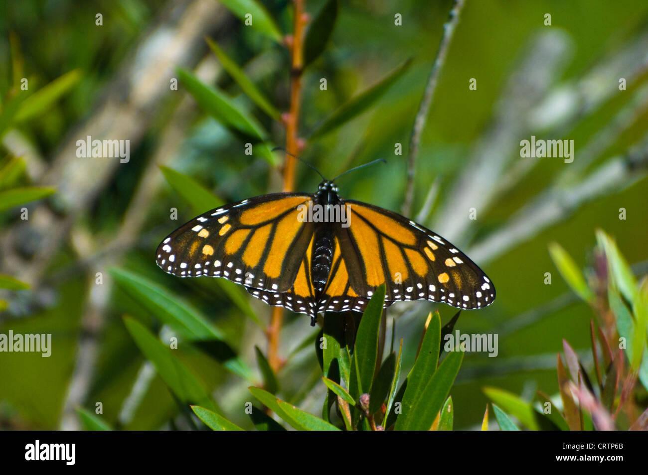 Wanderer Butterfly (Danaus plexippus) - Stock Image
