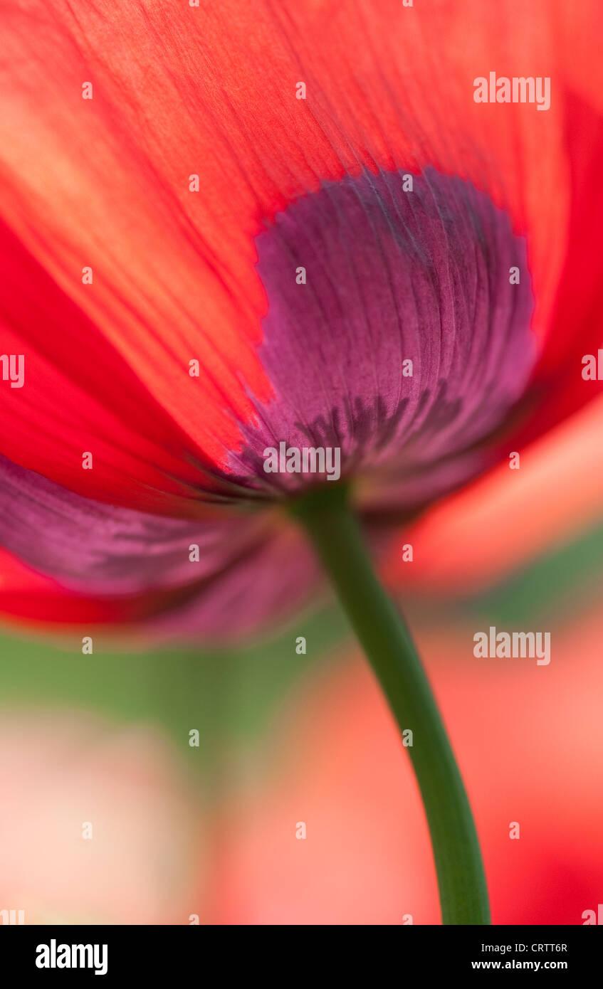 red poppy flower - Stock Image