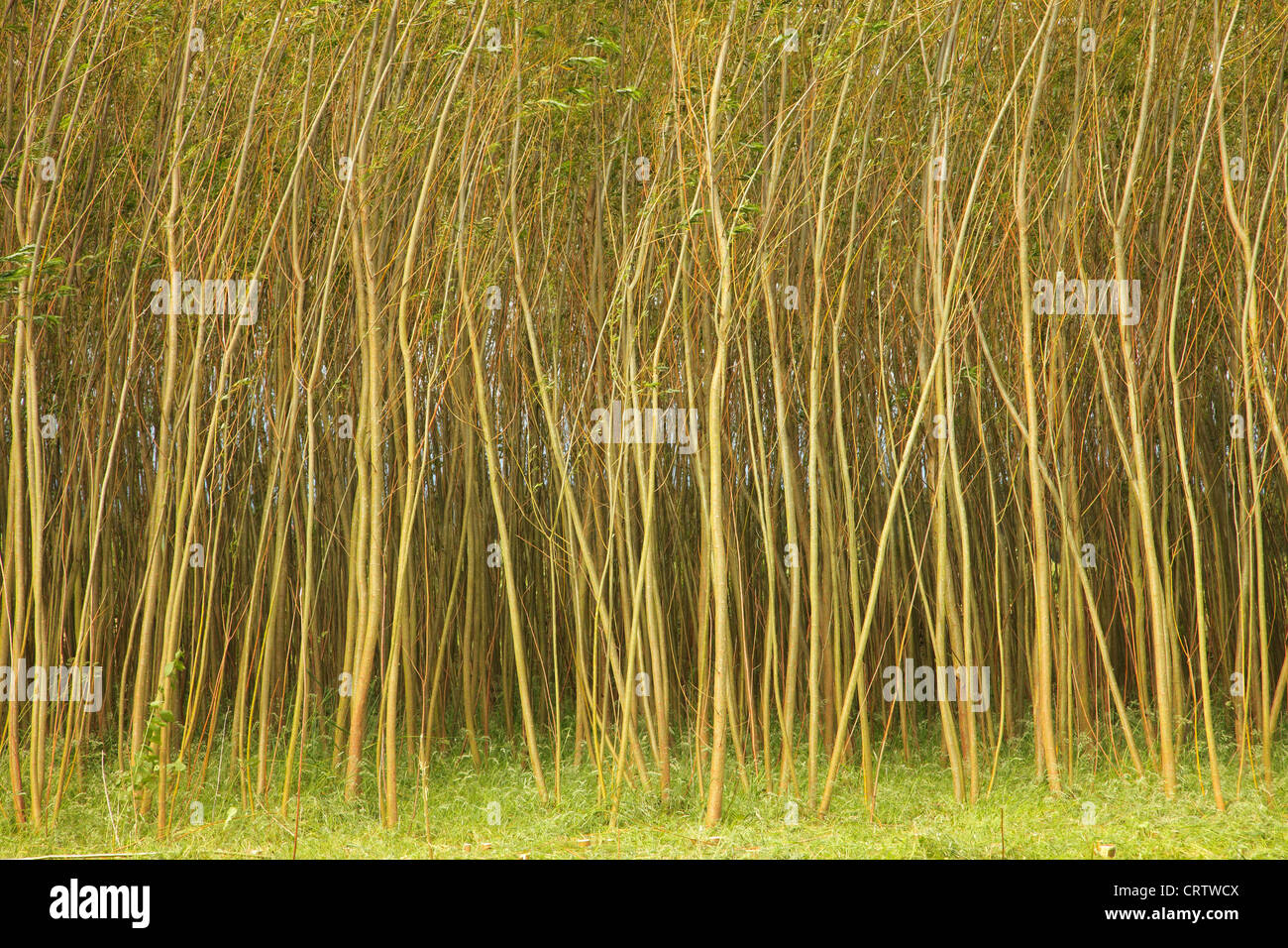 Willow Coppice Plantation - Stock Image