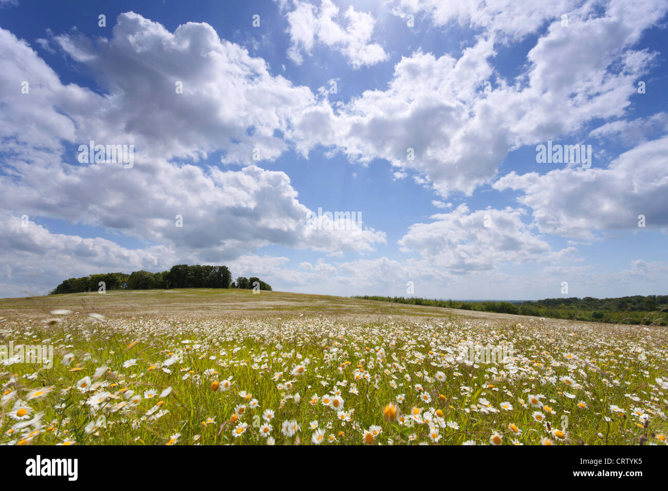 Field of common oxeye daises blowing in the wind Gog Magog Hills Cambridge, England, UK Stock Photo