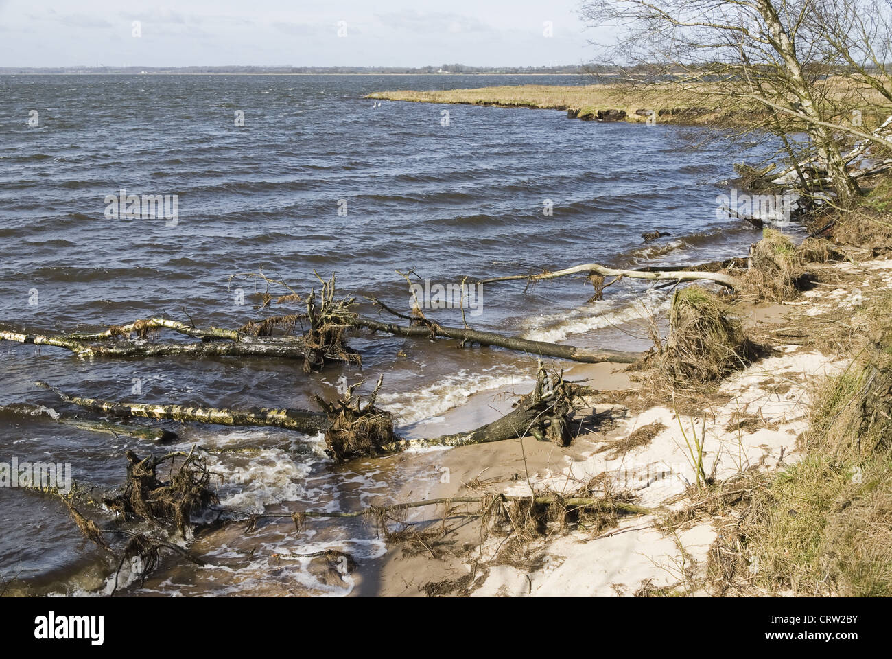 Uprooted tree on the beach - Stock Image
