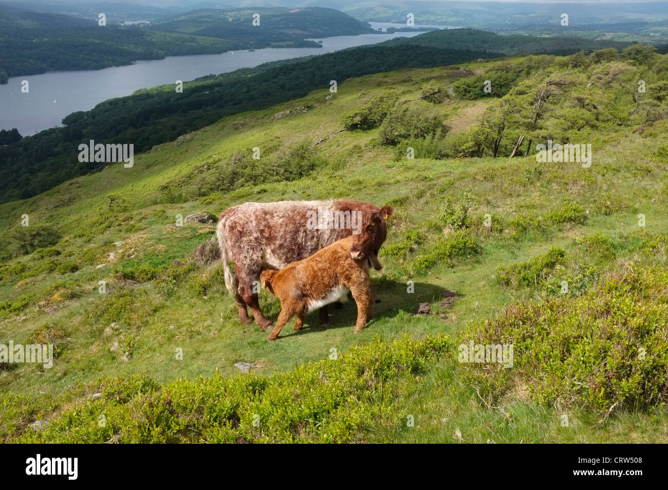 Luing cattle and calf feeding on gummers how overlooking lake stock luing cattle and calf feeding on gummers how overlooking lake windermere cumbria publicscrutiny Images