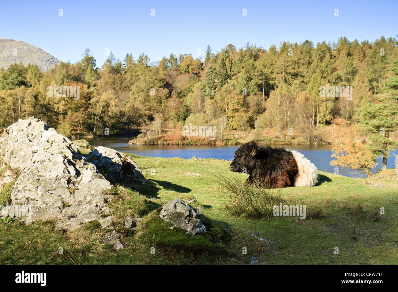 UK Cumbria  Cattle At Tarn Hows - Stock Image