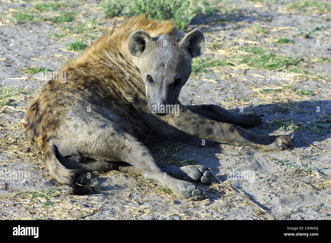 Spotted Hyena - Stock Image