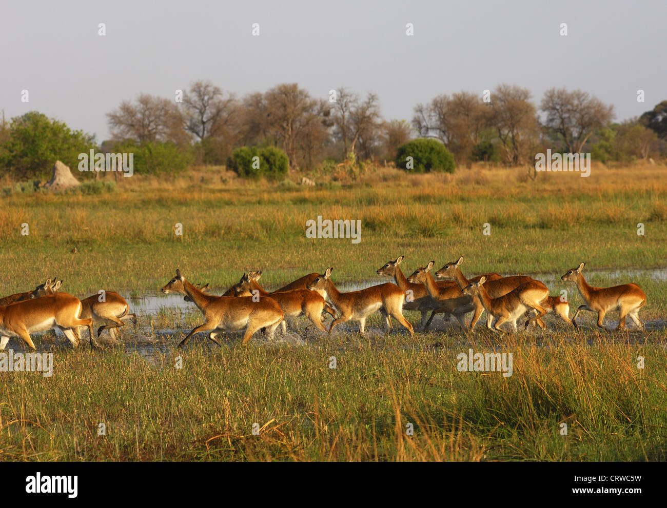 A herd of Southern Lechwes - Stock Image