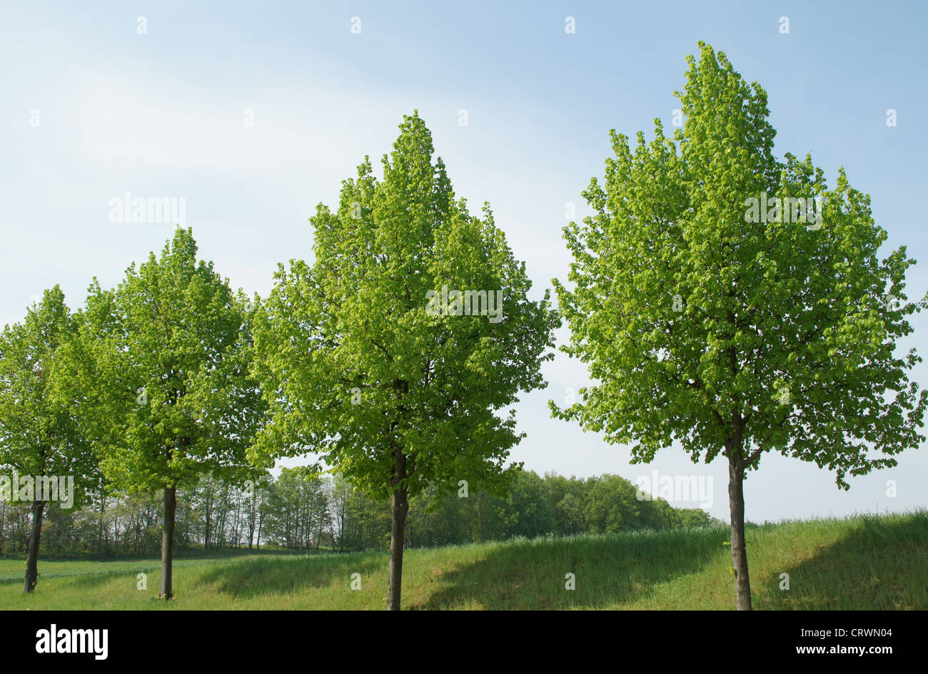 Large-leaved Limes Stock Photo