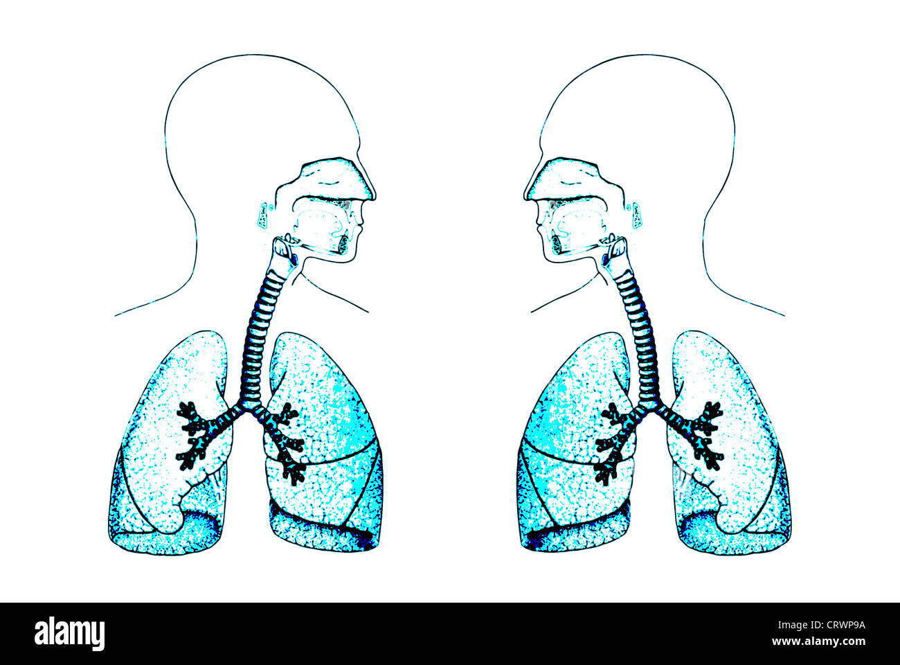 Lungs - Stock Image