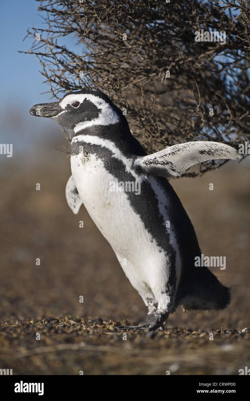 Magellan penguin - Stock Image
