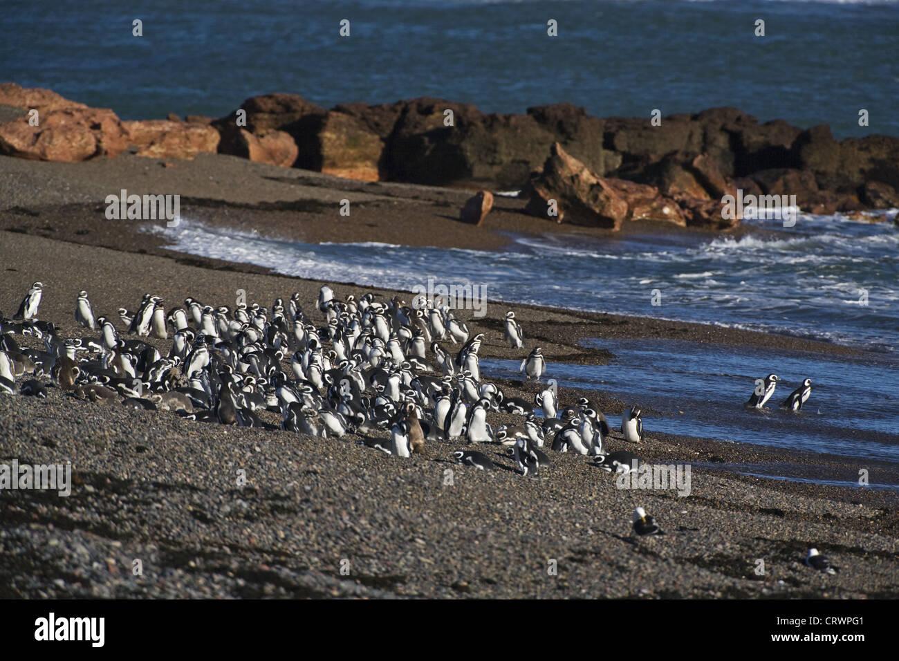 Magellan penguin colony - Stock Image