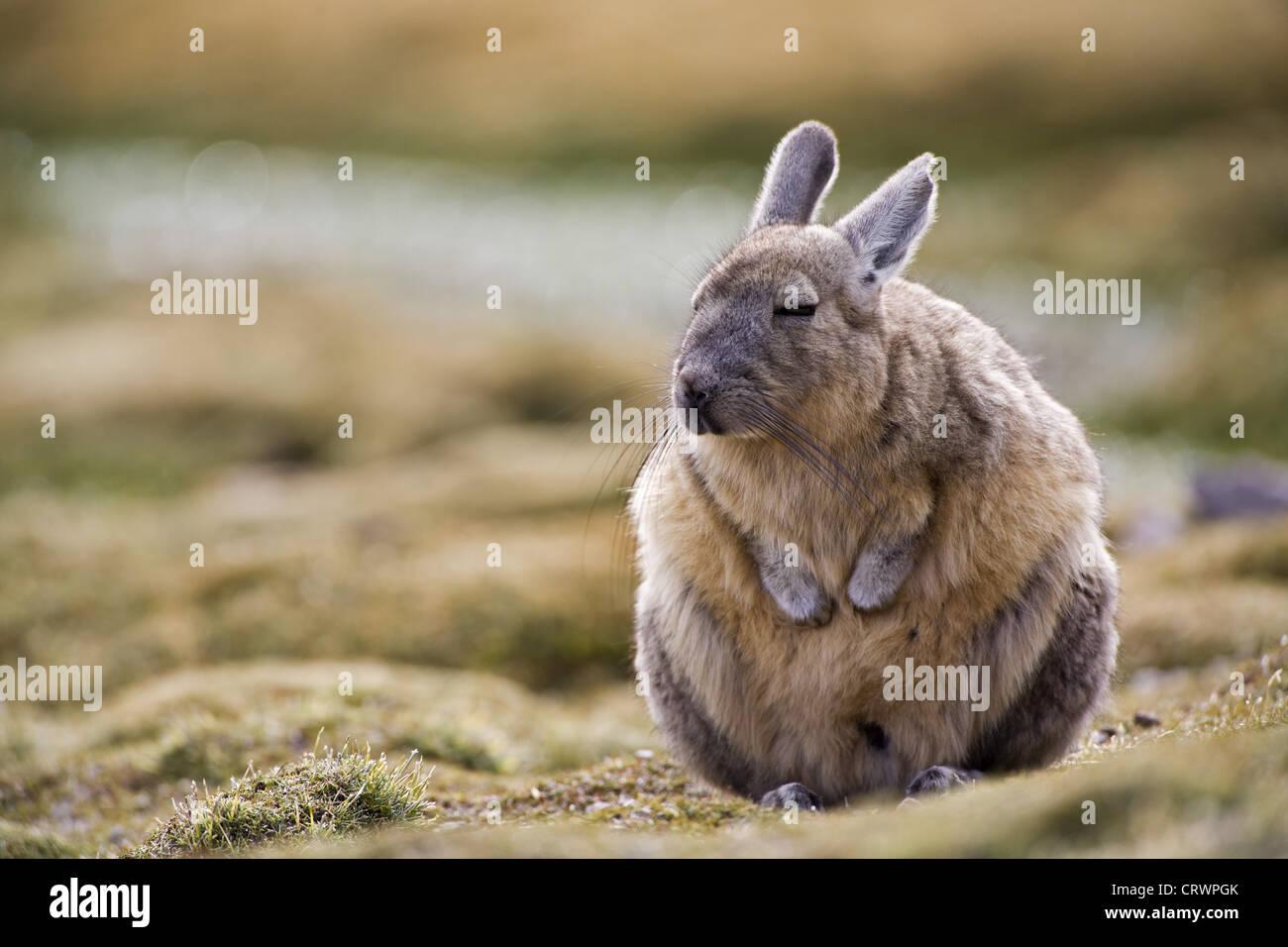Viscacha - Stock Image