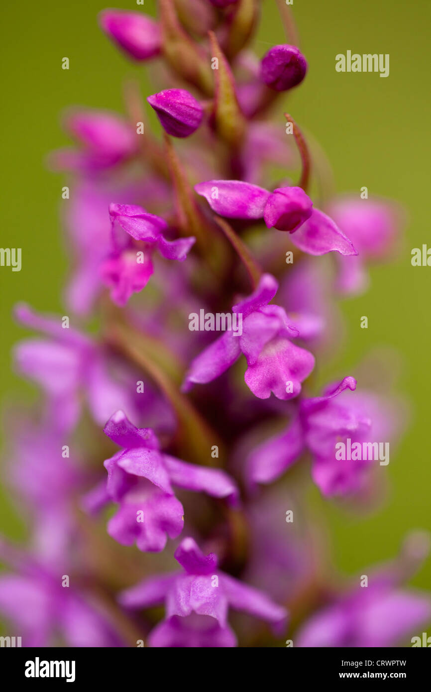 Early Purple Orchid Orchis mascula in bloom on a site of special scientific interest in rural Flintshire, Wales, - Stock Image