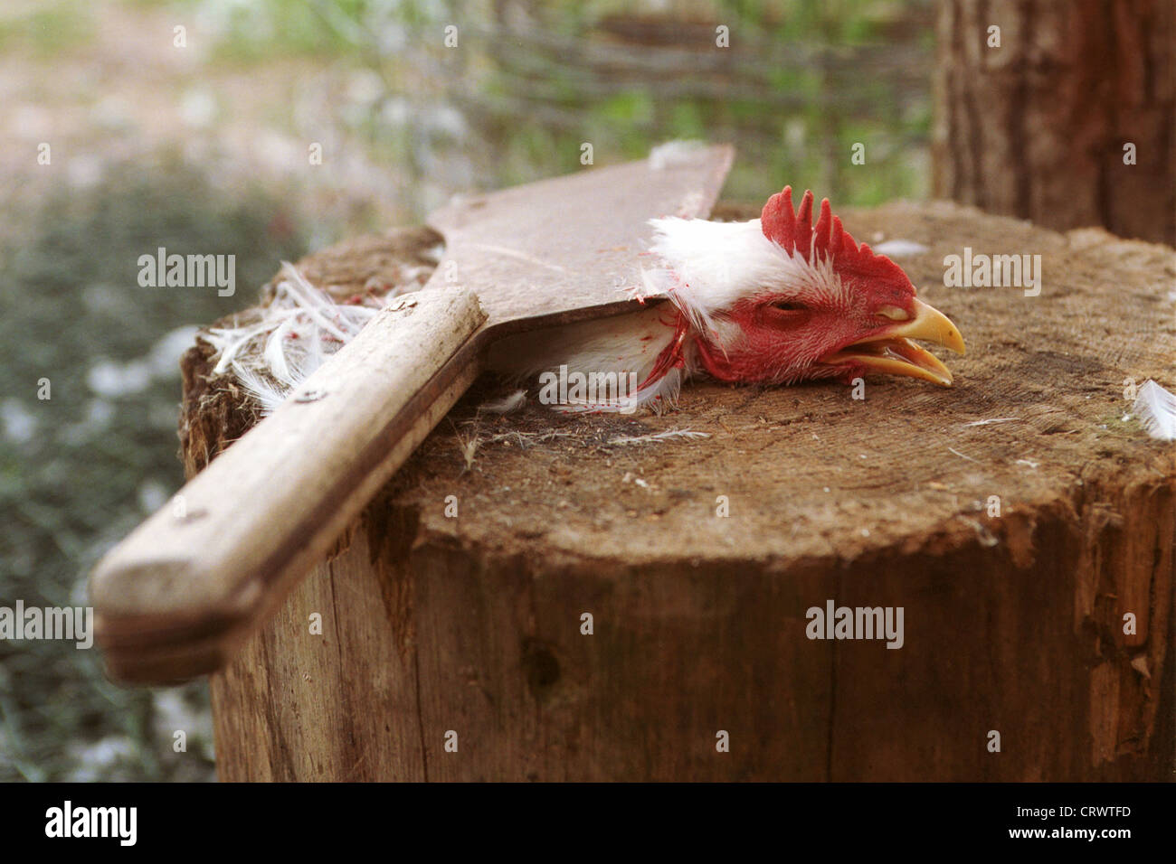 Representative photo of a slaughtered chicken - Stock Image