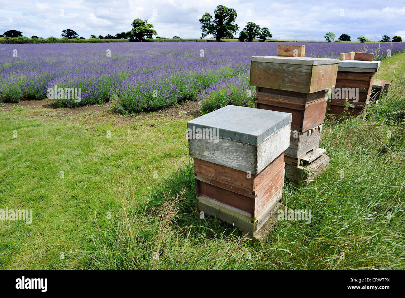 Bee hives on the edge of lavender field at Somerset Lavender Farm, Faulkland, Somerset. - Stock Image