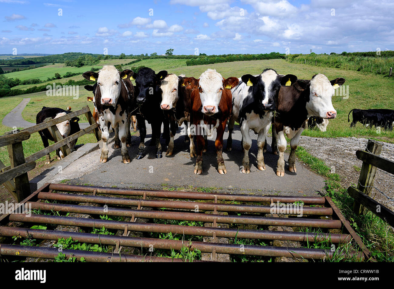 the legend behind the moo ing of cows Cows often moo when they're stressed out, decker says — it may be that they're caught in a fence or they're too hot kristofor husted / harvest public media originally published on may 26, 2016.