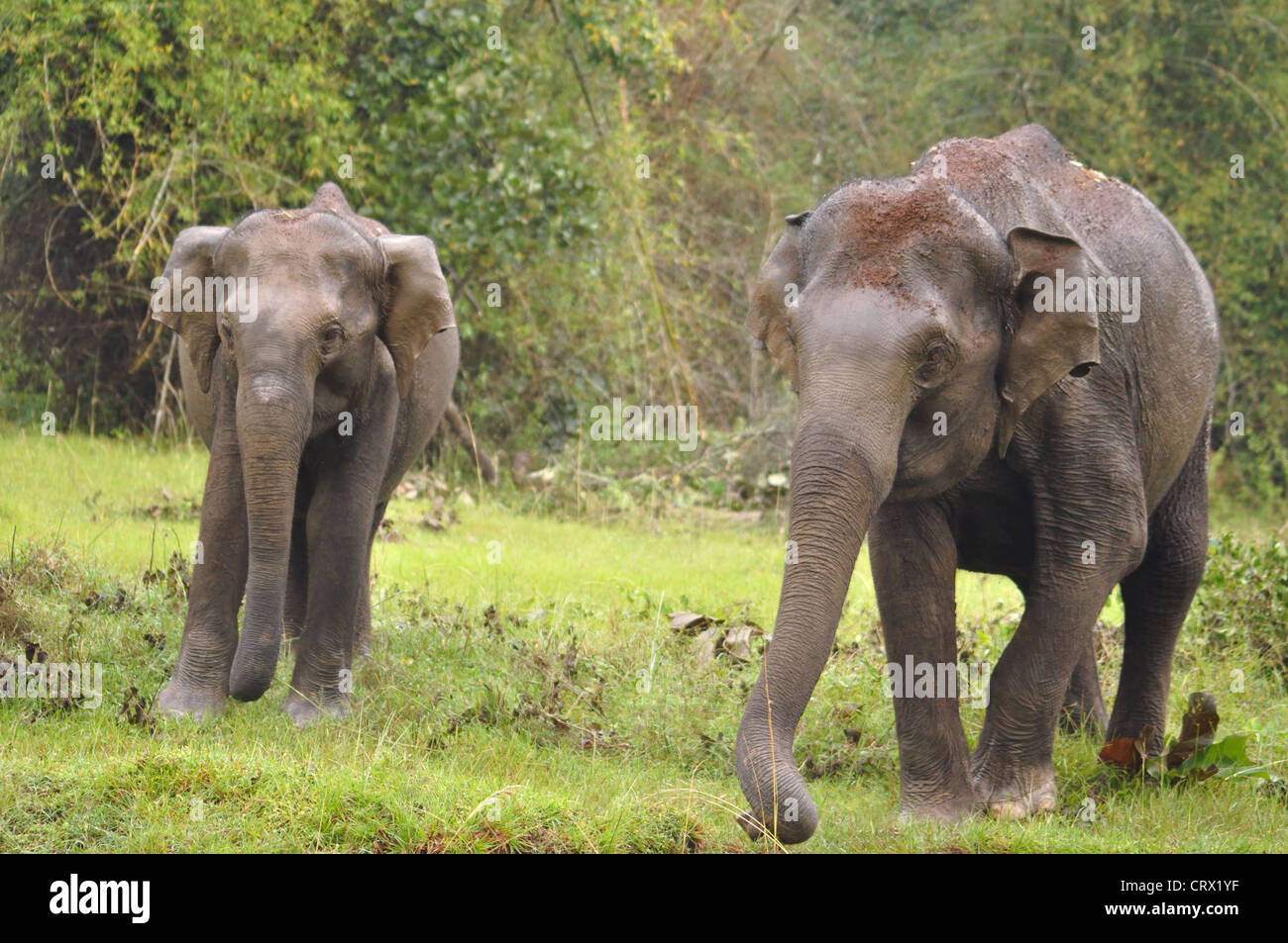Mother and baby Asiatic Elephant - Stock Image