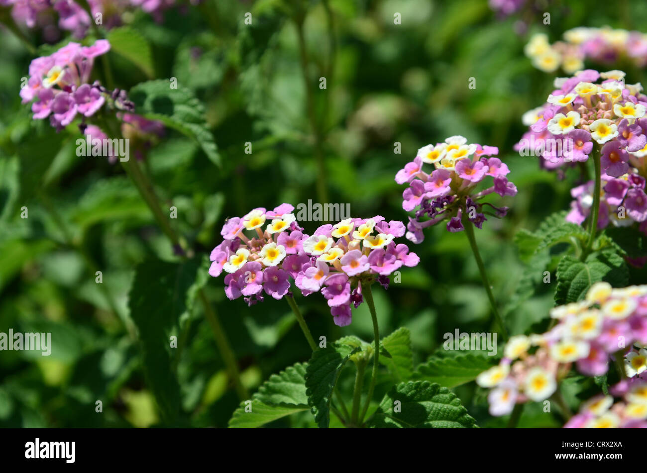 Verbena Lantana flowers in full bloom in the summer sunshine - shallow depth of field, focus in the centre of the - Stock Image