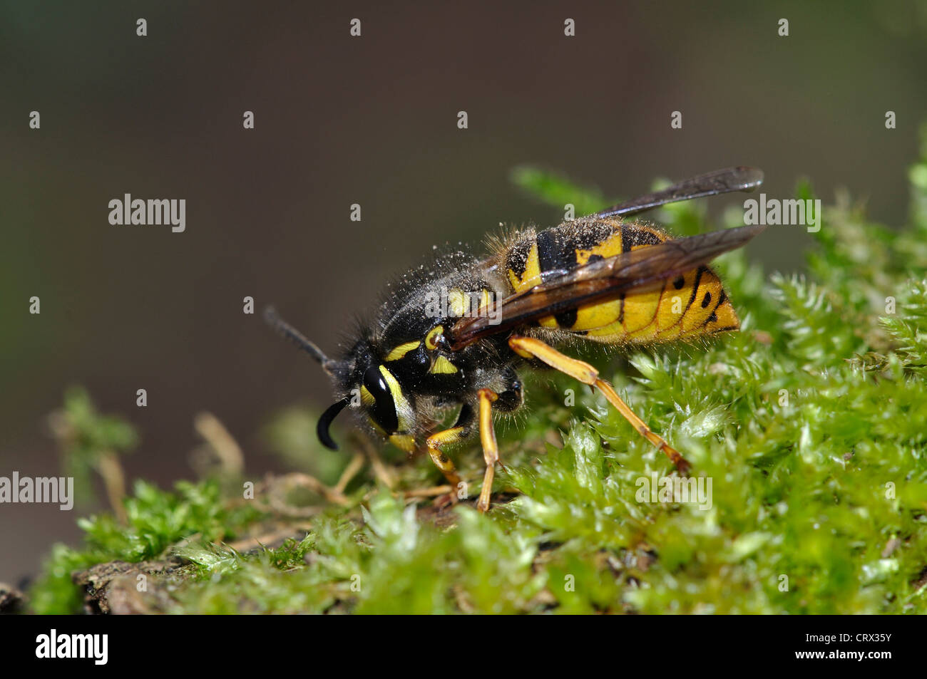 queen common wasp vespula vulgaris - Stock Image