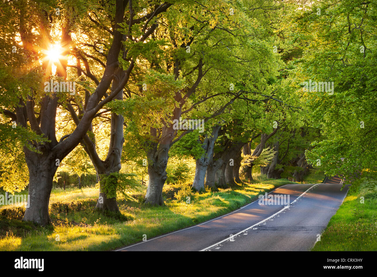 Beech tree lined road in evening sunshine, Wimborne, Dorset, England. Spring (May) 2012. - Stock Image