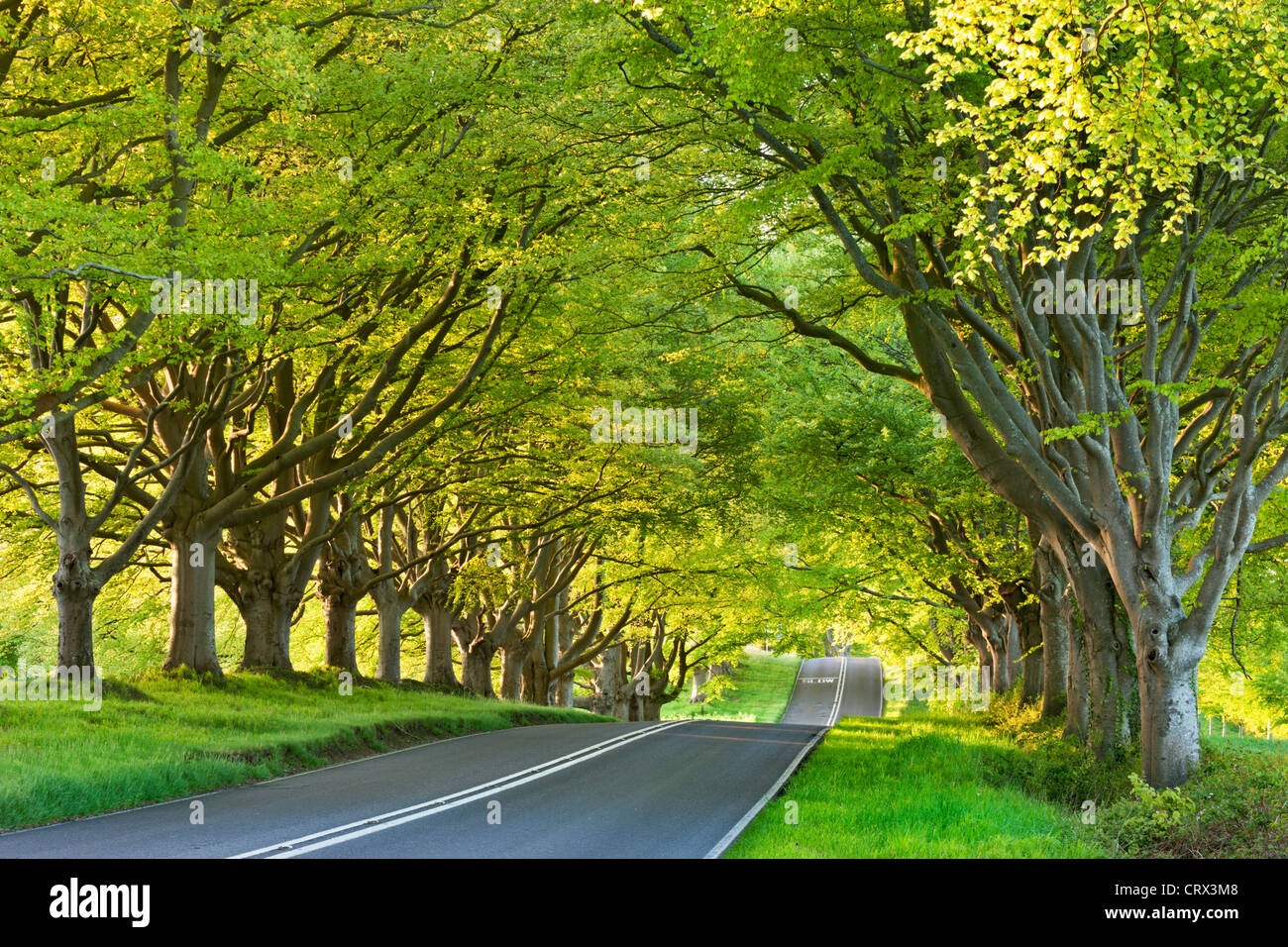 Beech tree lined road in springtime, Nr Wimborne, Dorset, England. Spring (May) 2012. Stock Photo