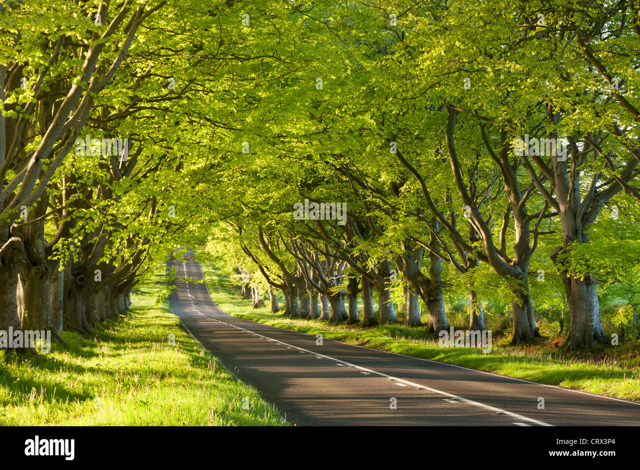 Beech Tree avenue early one Spring morning, Nr Wimborne, Dorset, England. Spring (May) 2012. - Stock Image