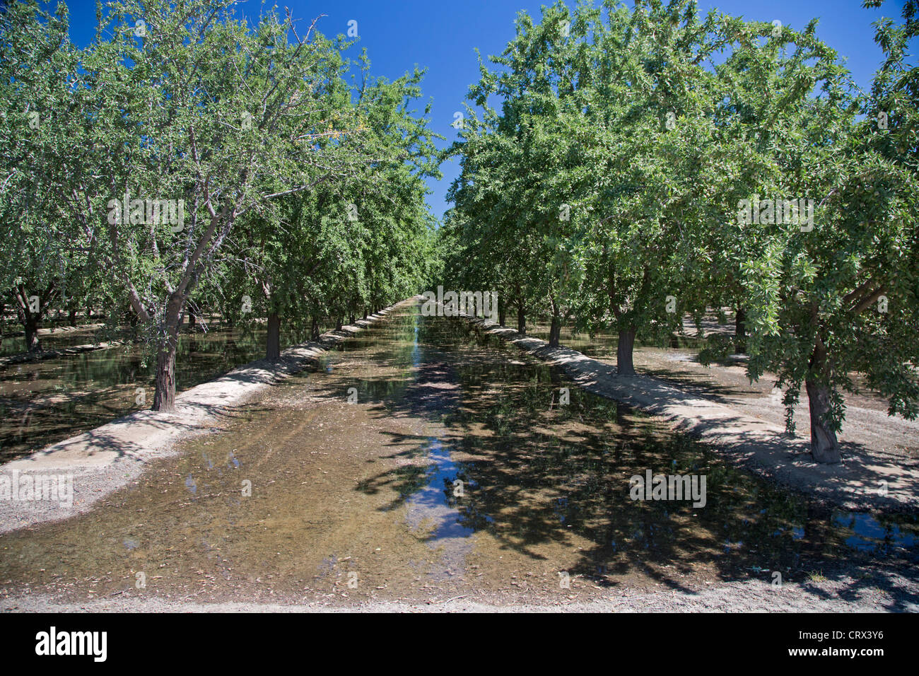 Buttonwillow, California - An orchard of nut trees in the San Joaquin Valley is flooded to irrigate the trees. - Stock Image