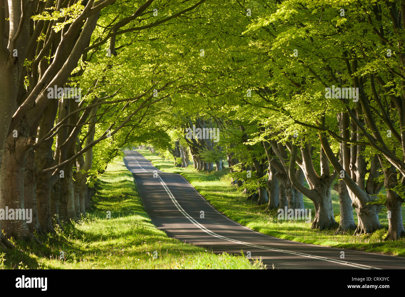 Beech tree lined road in morning sunshine, Wimborne, Dorset, England. Spring (May) 2012. - Stock Image