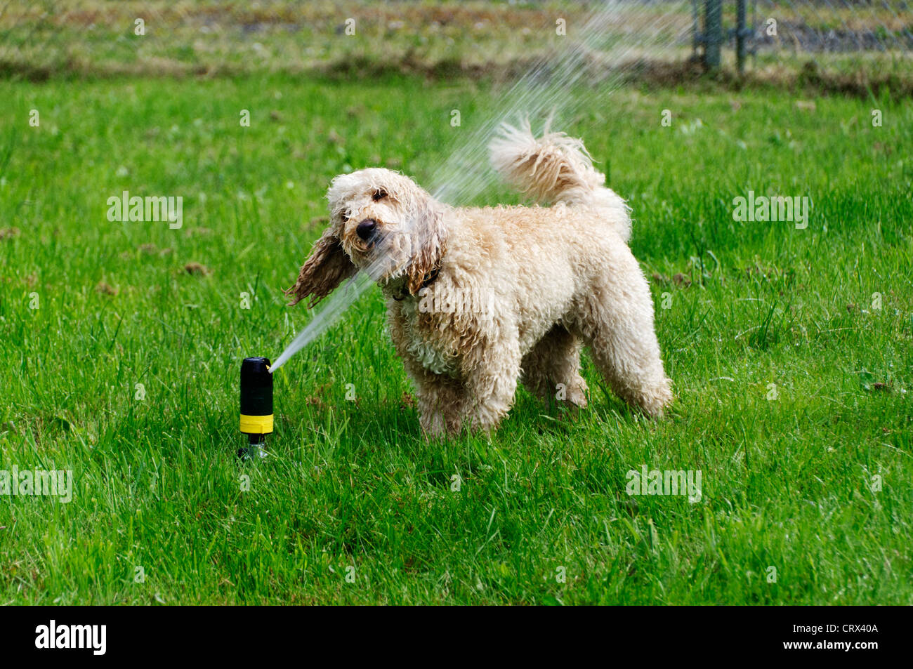 A darling young labradoodle dog drinks from a sprinkler in the yard on a warm summer day. Stock Photo
