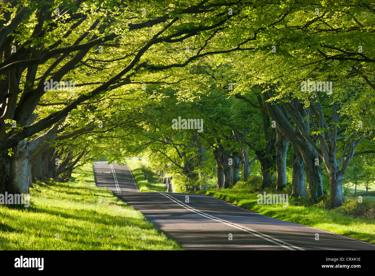 Beech tree lined road in springtime, Wimborne, Dorset, England. Spring (May) 2012. - Stock Image