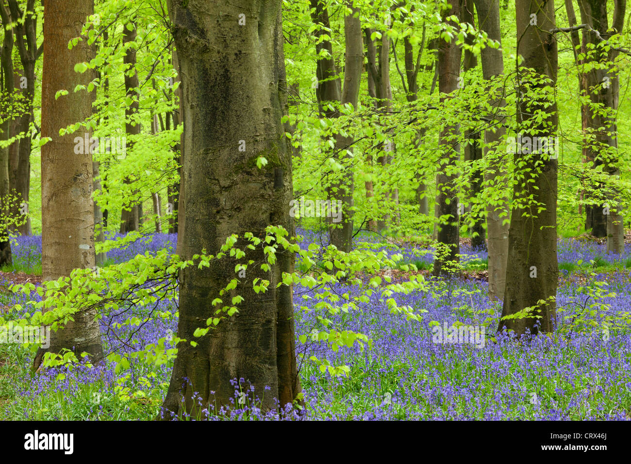 Bluebell carpet in a beech woodland, West Woods, Lockeridge, Wiltshire, England. Spring (May) 2012. - Stock Image