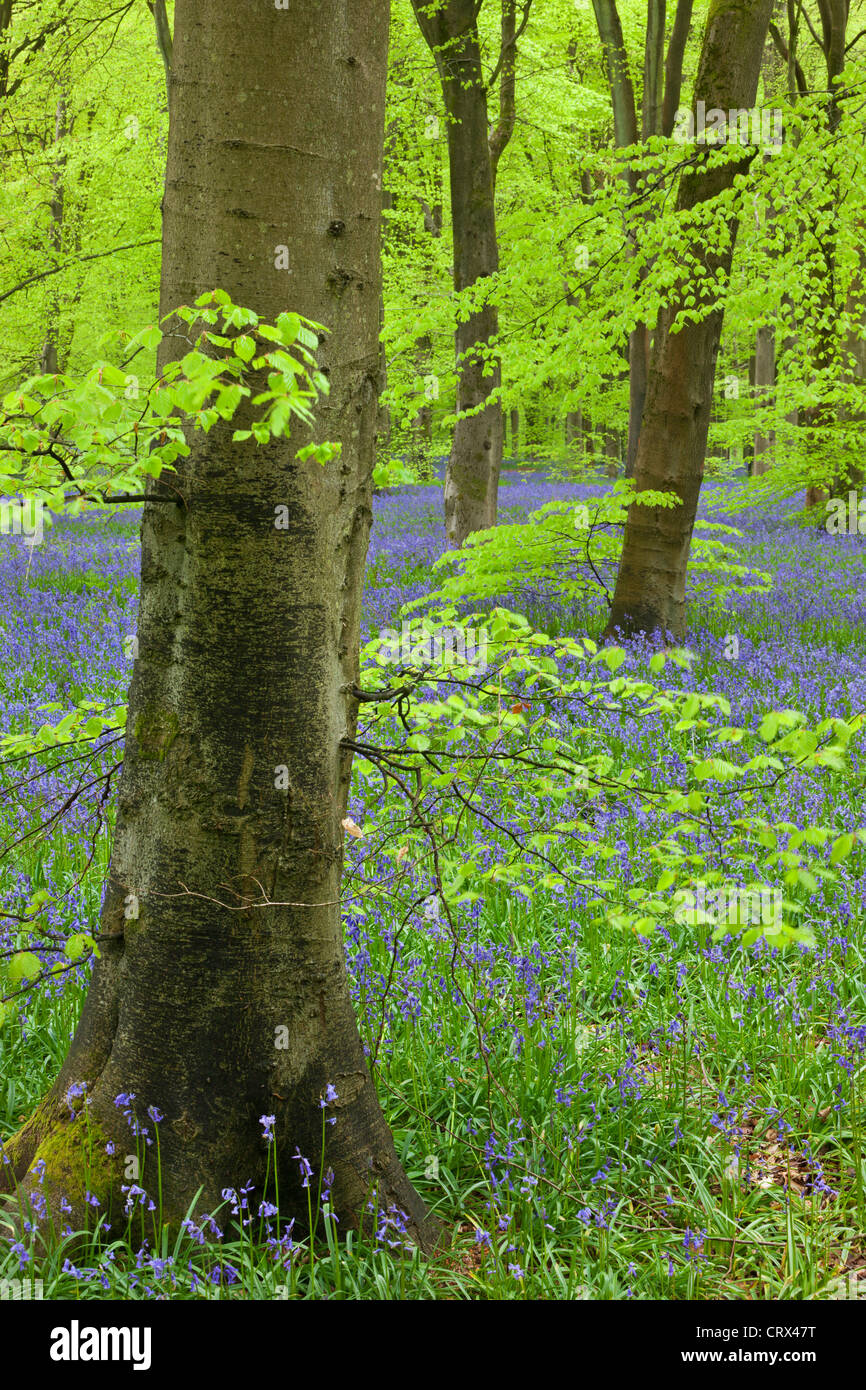 Bluebell carpet in a beech woodland, West Woods, Wiltshire, England. Spring (May) 2012. Stock Photo