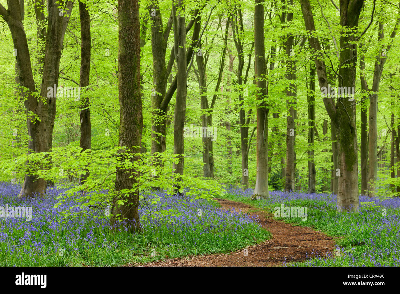 Bluebell carpet in a beech woodland, West Woods, Wiltshire, England. Spring (May) 2012. - Stock Image