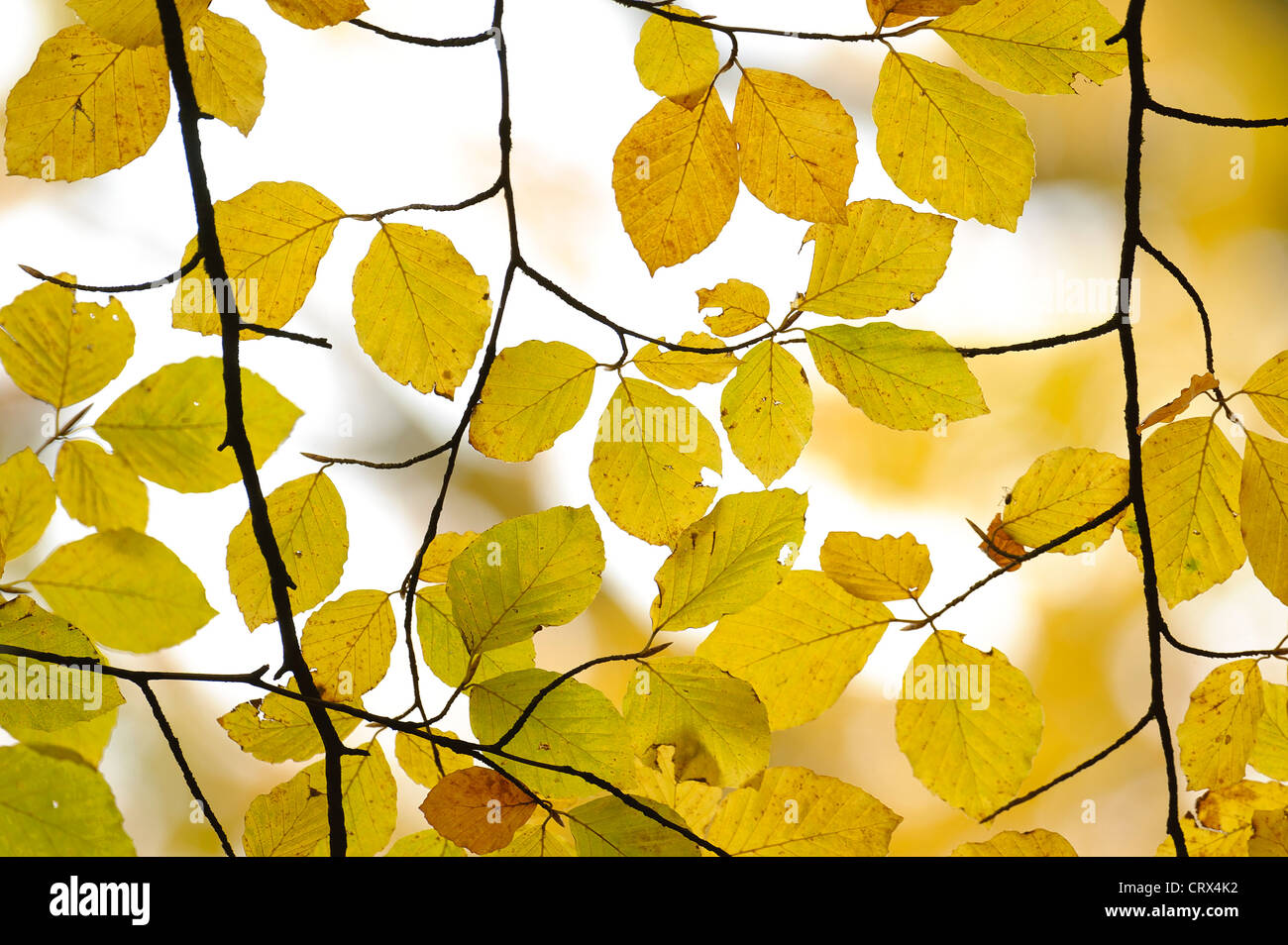 Autumn beech leaves (Fagus sylvatica) at Ashridge Forest In Hertfordshire, England. October. - Stock Image