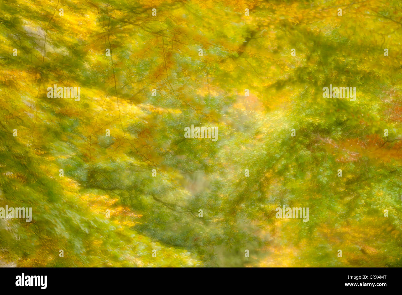 Soft focus view of autumn beech leaves (Fagus sylvatica) at Ashridge Forest In Hertfordshire, England. October. - Stock Image
