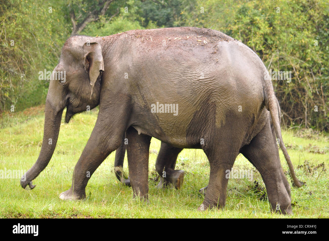Mother elephant covering her baby Stock Photo